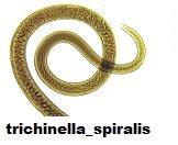 trichinella_spiralis
